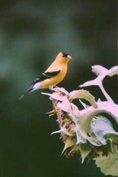 Willow Goldfinch